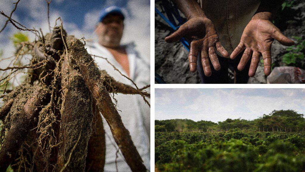 ambev-roots-questtono-cultivo-mandioca-producao-cerveja